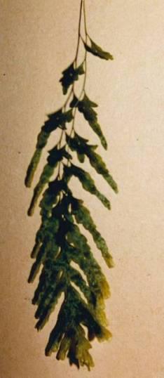 Polyphlebium venosum - Veined Bristle Fern