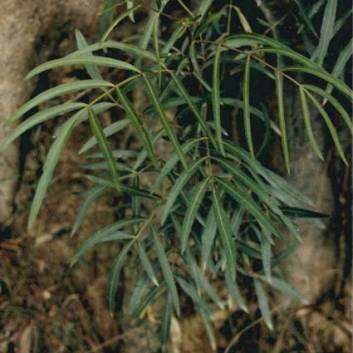 Polyscias sambucifolia - Eldeberry Panax