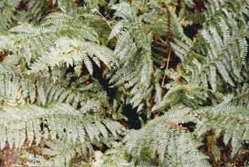 Polystichum proliferum - Mother Shield fern