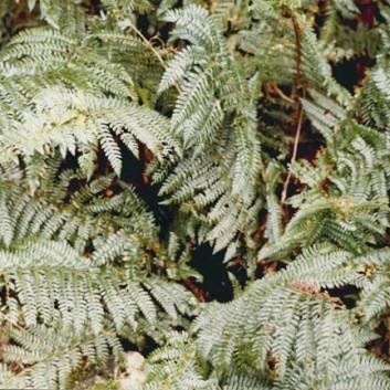 Polystichum proliferum - Mother Shield fern