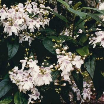 Prostanthera lasianthos - Victorian Christmas-bush