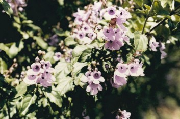 Prostanthera melissifolia - Balm Mint-bush