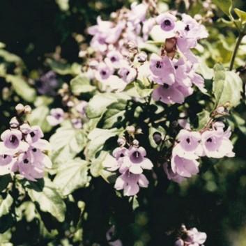 Prostanthera melissifolia - Balm Mint-bush