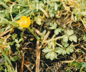 Ranunculus lappaceus -Australian Buttercup