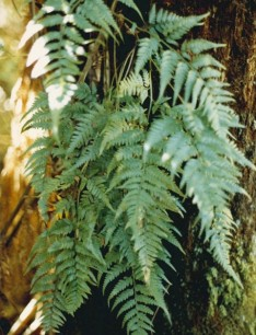 Rumohra adiantiformis - Leathery shield fern