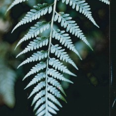 Rumohra adiantiformis - Leathery Shield-fern