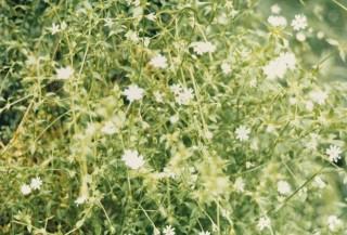 Stellaria flaccida - Forest Starwort