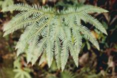 Sticherus lobatus - Spreading Fan-fern