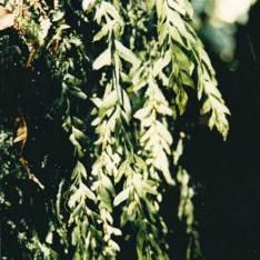 Tmesipteris billardieri - Long Fork-fern