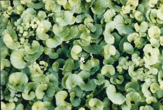 Viola hederacea - Ivy-leaf Violet