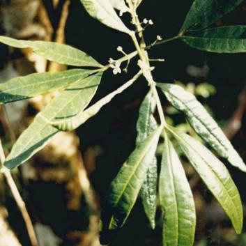 Zieria arborescens - Stinkwood