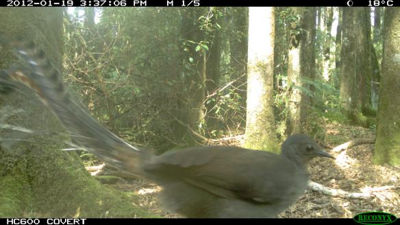 Superb Lyrebird - Menura novaehollandiae