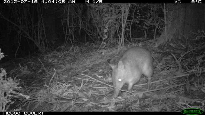 Long- nosed Bandicoot - Perameles nasuta