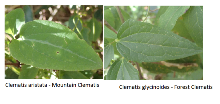 Clematis leaf comparison