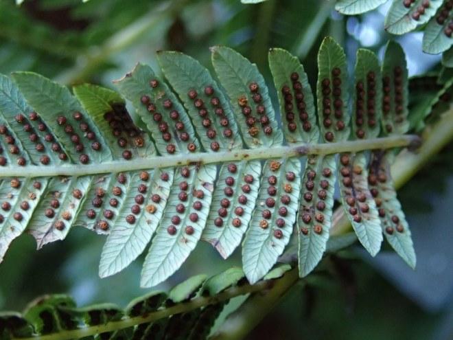 Cyathea australis - Rough tree-fern Sori