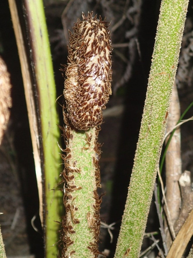 Cyathea australis - Rough tree-fern