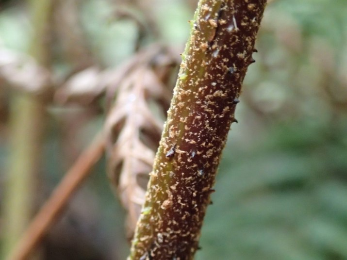 Cyathea australis - Rough tree-fern