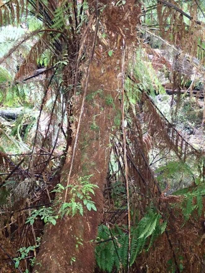 Dicksonia antarctica Soft tree-fern