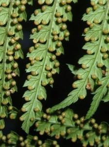 Dicksonia antarctica Soft tree-fern Sori