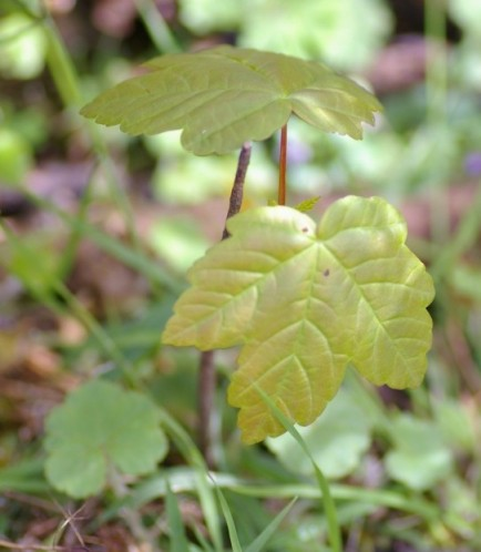 Sycamore Maple Seedling