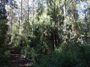 Exocarpos cupressiformis - Cherry Ballart