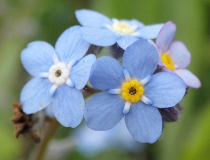 Myosotis sylvatica - Wood-forget-me-not