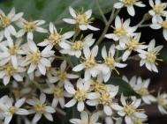 Olearia argophylla - Musk daisy-bush