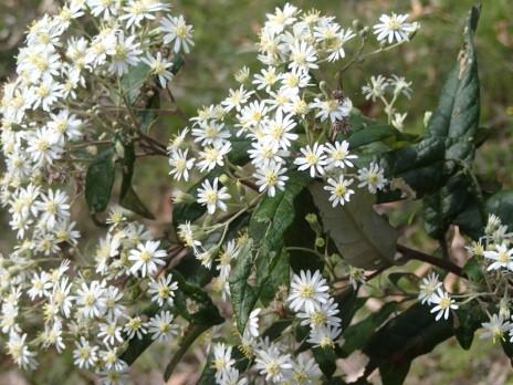 Olearia lirata - Snowy daisy-bush