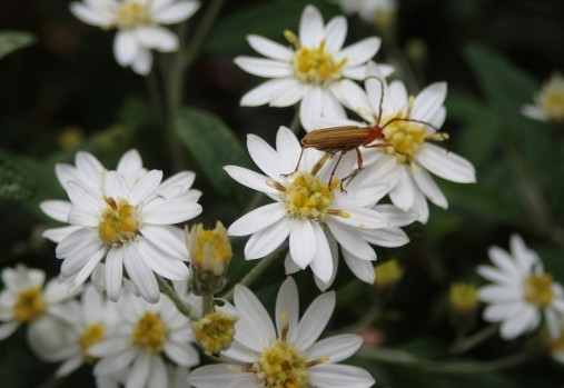 Olearia phlogopappa - Dusty daisy-bush