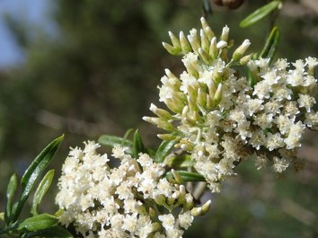 Ozothamnus ferrugineus - Tree Everlasting