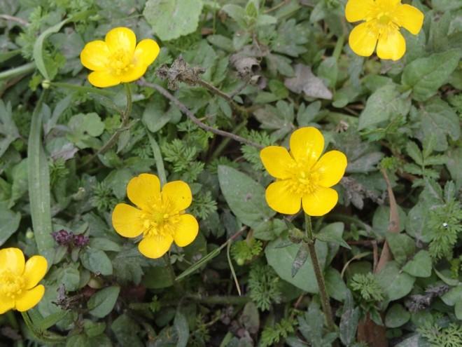 Ranunculus repens - Creeping Buttercup