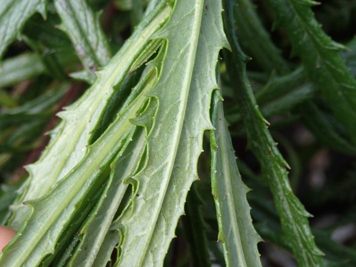 Senecio linearifolius - Fireweed Groundsel
