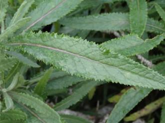 Senecio minimus - Shrubby Fireweed
