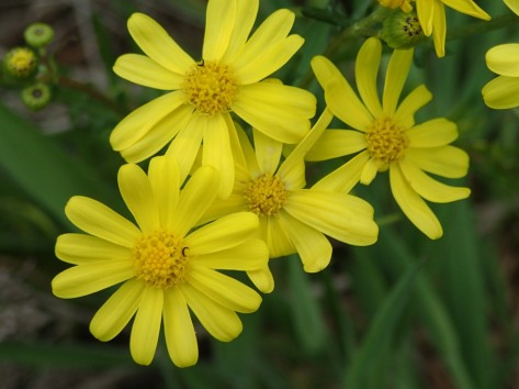 Senecio pinnatifolius - Variable Groundsel