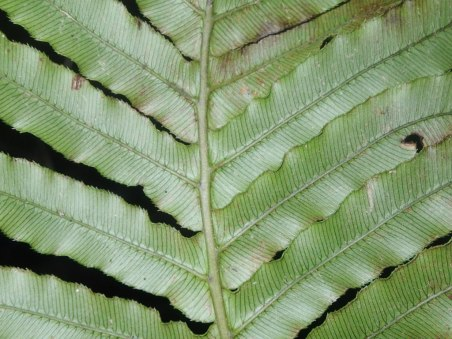 Blechnum cartilagineum - Gristle-fern