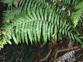Blechnum cartilagineum - Gristle-fern