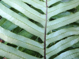 Blechnum nudum - Fishbone Water-fern