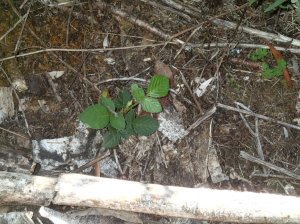 A few Blackberry seedlings also need to be dealt with before they spread.