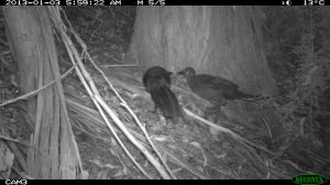 Pair of Superb Lyrebirds