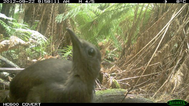 Lyrebird who got overly interested in one of our Remote Cameras