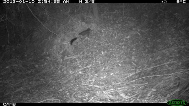 Brushtail Possum in Scrub