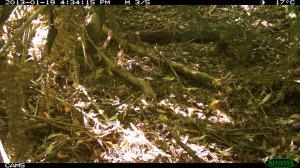 Bassian Thrush (Very Well Camouflaged)