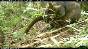 Swamp Wallaby - Grooming its tail.