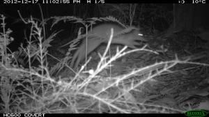 Leaping Long-nosed Bandicoot