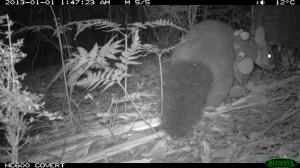 Brushtail 2
