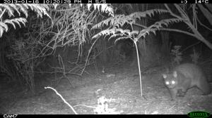 Brush-tail Possum