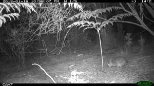Long-nosed Bandicoot