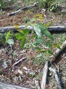 Planted Mountain Ash seedling doing will in one of the more open areas.