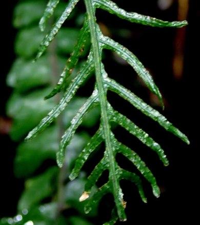 Blechnum chambersii - Lance water-fern