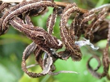 Blechnum minus - Soft Water-fern fertle fronds